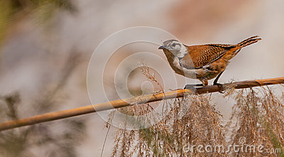 Pale-legged Hornero bird on stick