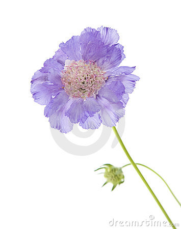 Free Pale Lilac Garden Scabiosa Stock Photography - 14917572