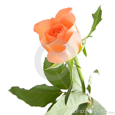 Pale orange rose