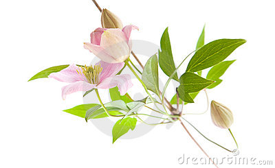 Pale pink clematis,