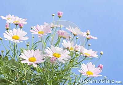 Pale pink daisies