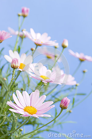 Pale pink daisies
