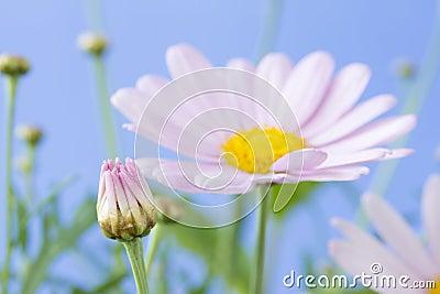 Pale pink daisy bud
