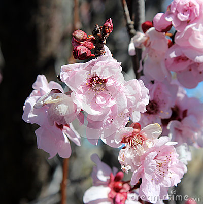 Free Pale Pink Double Blooms Of  Flowering Plum Tree. Royalty Free Stock Photo - 33271045
