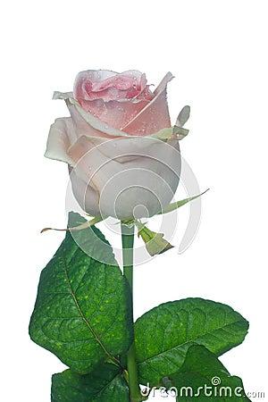 Pale pink Ensemble rose