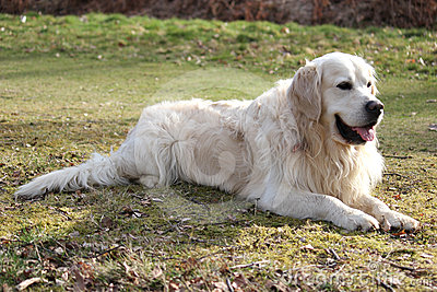 Pale retriever laying down