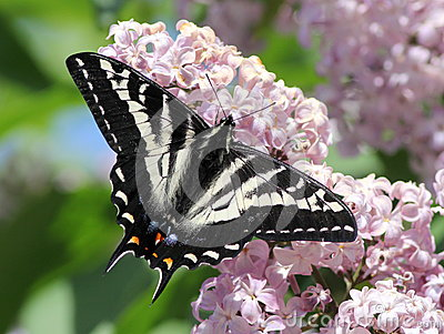 Pale Swallowtail on a Lilac