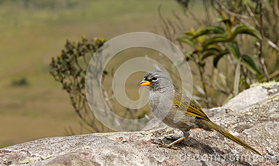 Pale-throated Pampa-finch (Embernagra longicauda).