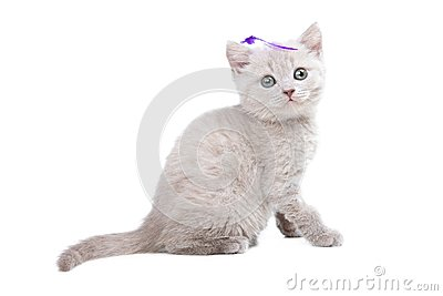 Pale-yellow British kitten