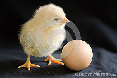 A pale yellow chick stands next to an egg on a black background