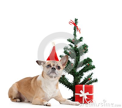 Pale yellow dog near the present and Christmas tree
