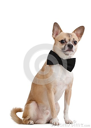 Pale yellow doggy with bow tie