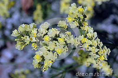 Pale Yellow Limonium sinuatum in Bloom