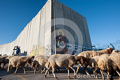 Palestinian sheep at Israeli separation wall Editorial Stock Photo