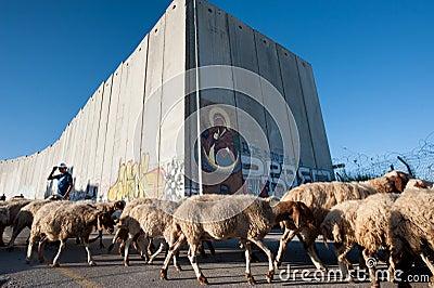 Palestinian sheep at Israeli separation wall Editorial Stock Photo