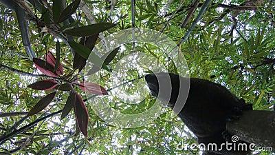pallas 4K packen das Gehen weg und fühlen sich auf Niederlassung des Bambusparkwaldes neugierig stock video footage