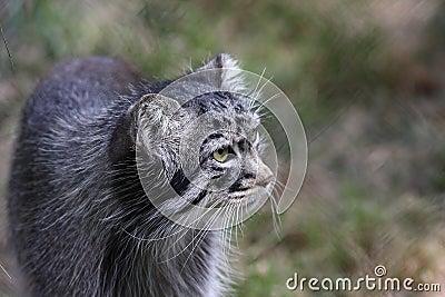Pallas wild cat