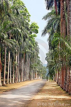 Palm alley in a tropical garden
