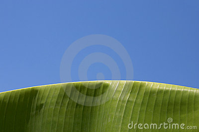 Palm, Banana Leaf