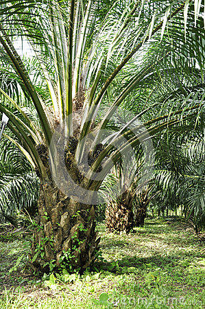 Free Palm Day Outdoor Farm Crop Royalty Free Stock Photography - 28633077
