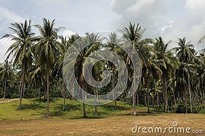 Palm forest on Koh Samui