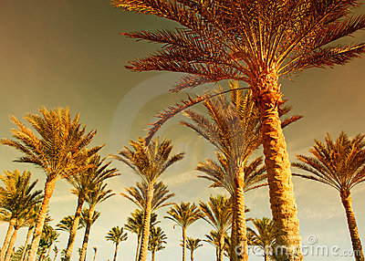 Palm forest at sunset
