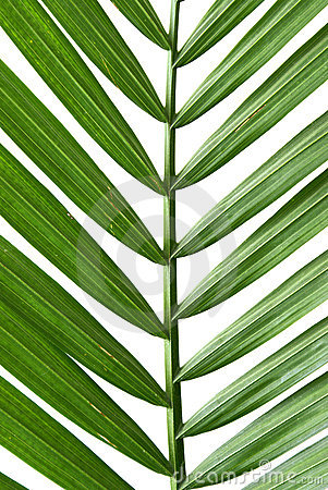 Free Palm Frond Stock Photos - 8040773