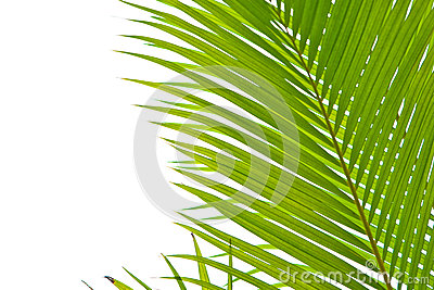 Palm fronds in an outdoor setting