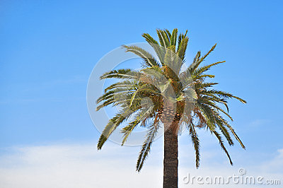 Palm in front of the blue sky