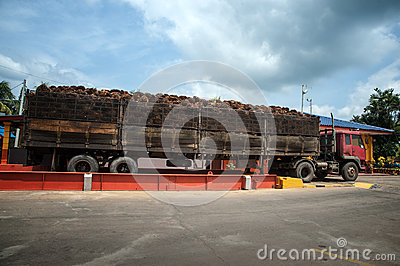 Palm fruit on big lorry Editorial Stock Image