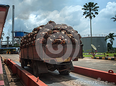 Palm fruit on lorry