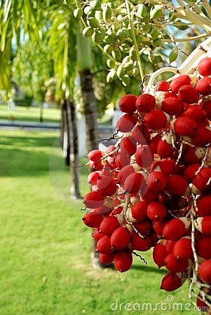 Palm Fruits 1