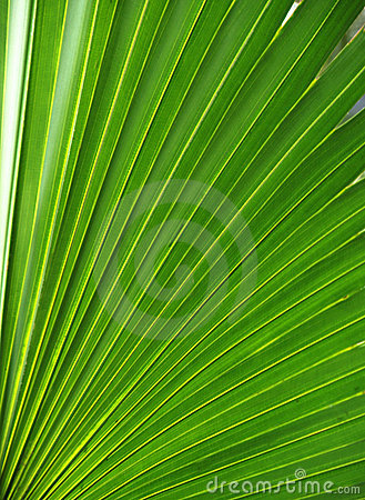 Palm leaf, frond texture