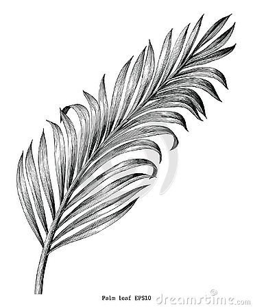 Palm leaf hand draw vintage engraving clip art isolated on white Vector Illustration