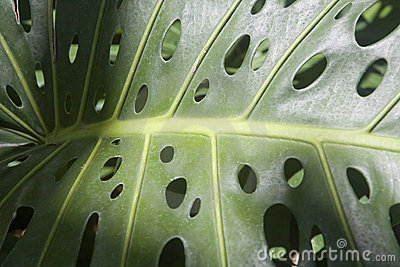 Palm Leaf with Holes