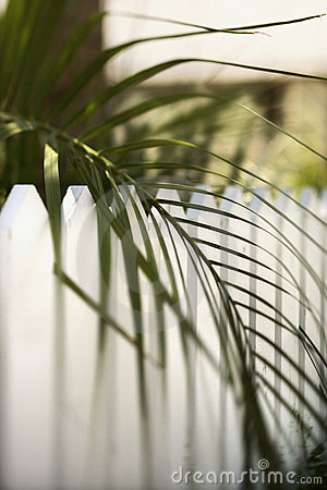 Palm leaf over fence