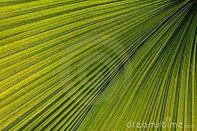 Palm leaf venation