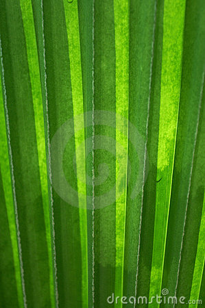 Palm leaf with vertical lines(vertical)