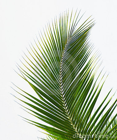 Free Palm Leaves Stock Photo - 11941680