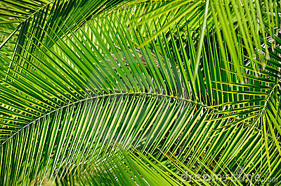 Palm Leaves (Background)
