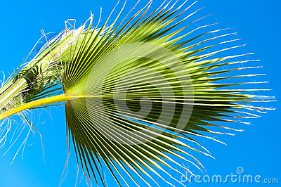 Palm leaves on blue clear sky