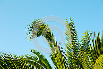 Palm leaves with a blue sky as background
