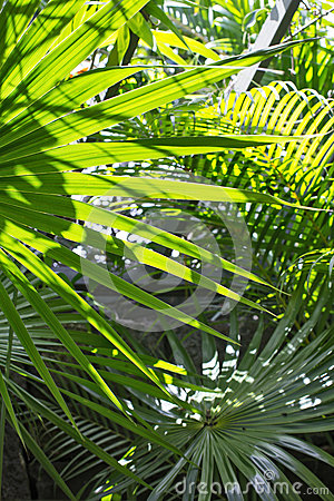 Free Palm Leaves In The Sun Royalty Free Stock Images - 36680969