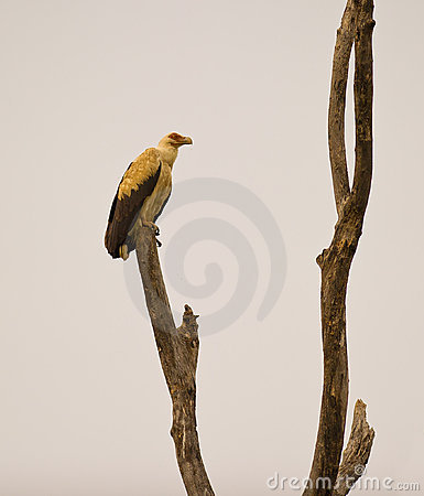 A Palm-nut vulture at his roosting place