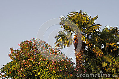 Palm and oleander tree in Lazise at Lake Garda, Veneto, Italy