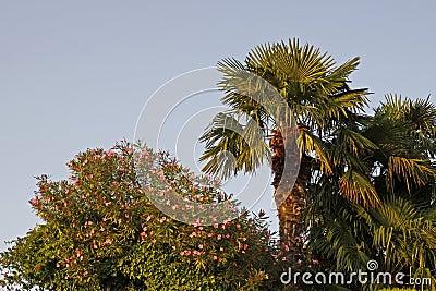 Palm and oleander tree in Lazise at Lake Garda, Veneto, Italy