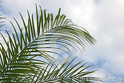 Palm Palm fronds