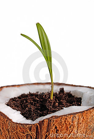 Palm sapling
