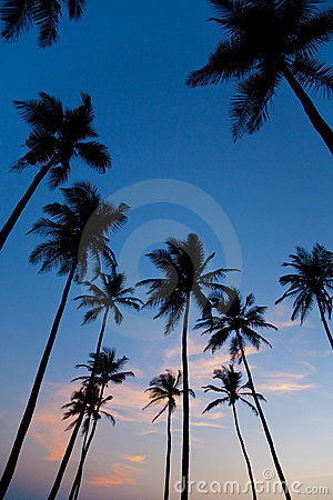 Palm silhouettes on sunset