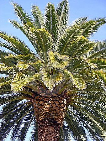 Free Palm Tree Stock Photography - 507672